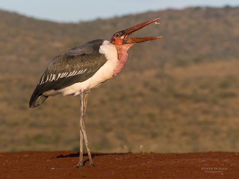 Marabou Stork, Zimanga, South Africa, May 2017-12.jpg