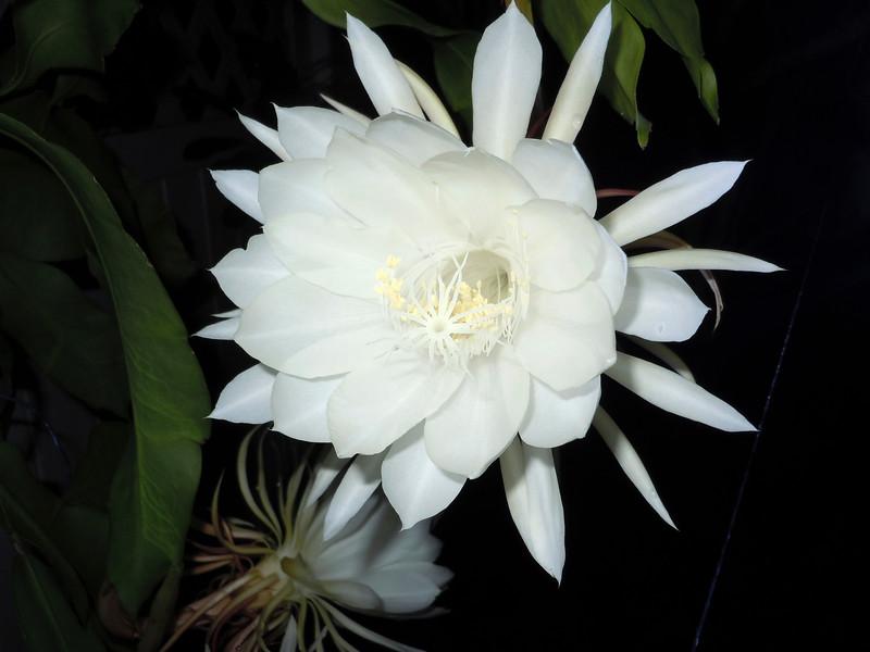 3_15_19 Dutch Pipe cactus bloom.jpg