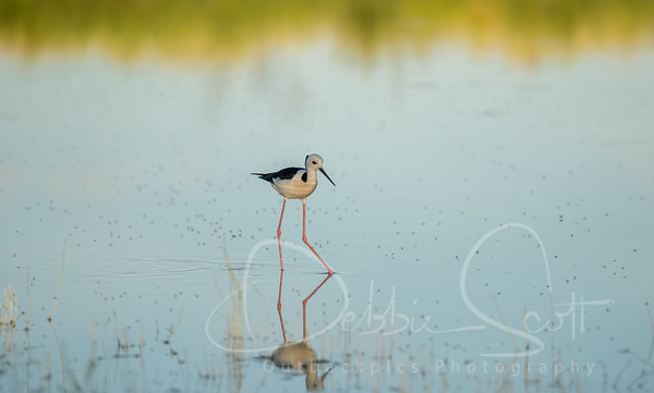 Stilts, Snipes, Sandpipers, Stints