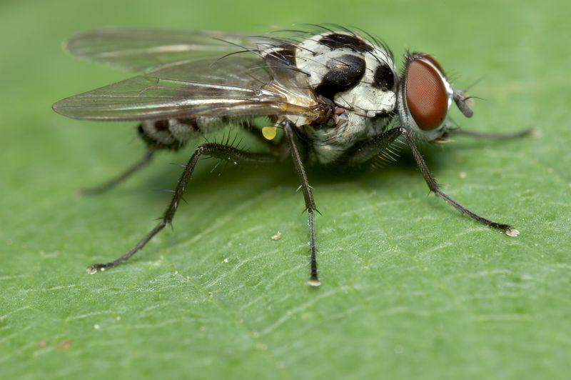 blackspottedfly.jpg