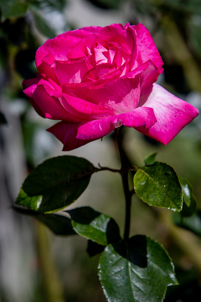 A mystery rose