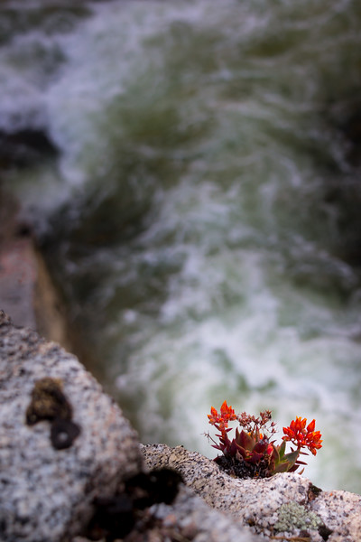 Dudleya cymosa clinging to a granite outcropping above the Merced River, just outside the Yosemite gates.