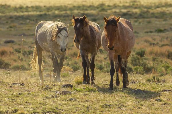 Wild Mustangs - Gallery #2