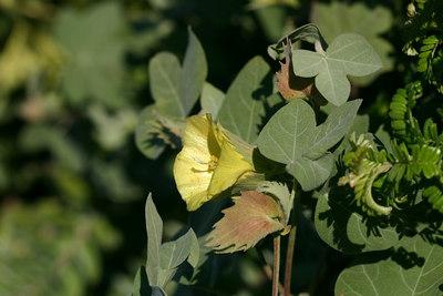 Gossypium tomentosum (Malvaceae)