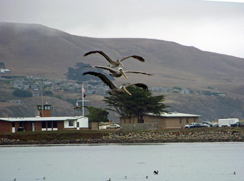 Brown Pelicans- Bodega Bay