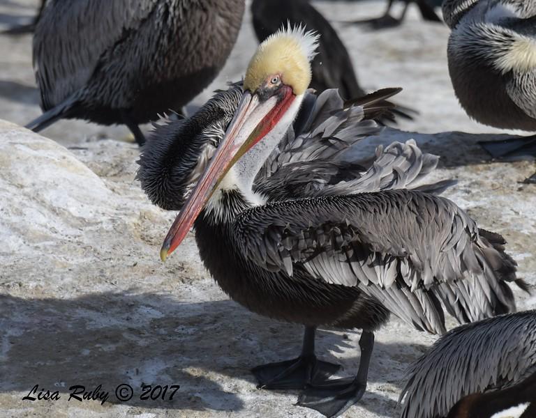 Brown Pelican  - 12/10/2017 - La Jolla Cove