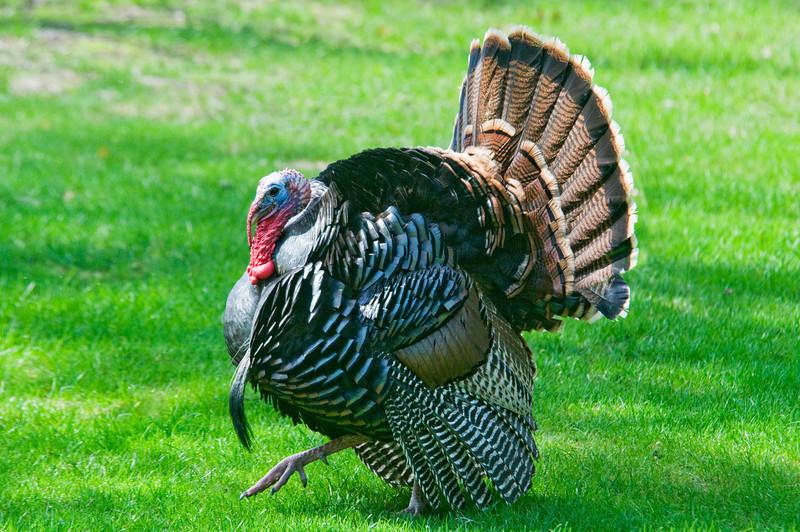 Turkey - Wild - male - Vadnais Heights MN - 01
