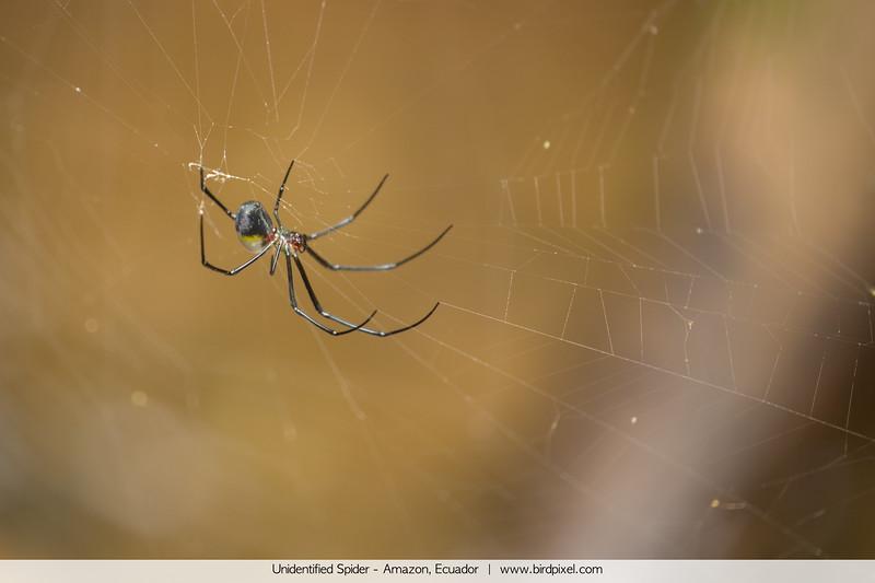 Unidentified Spider - Amazon, Ecuador