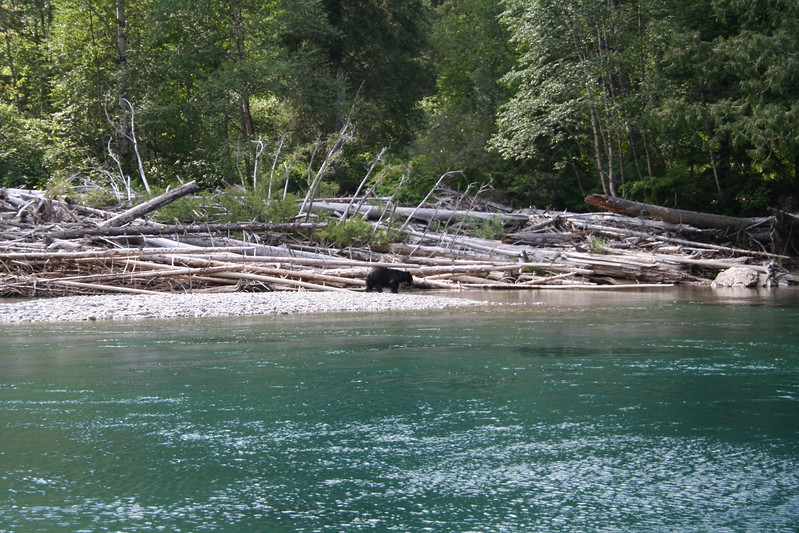20110827 - 116 - GNP - Black Bear At Swimming Hole Along GTTS Road.JPG