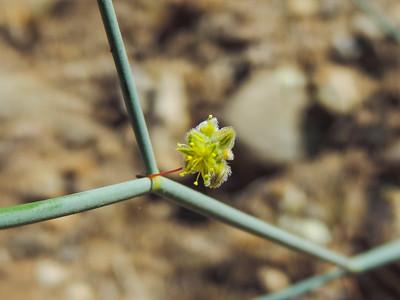 Desert Trumpet (Eriogonum inflatum)