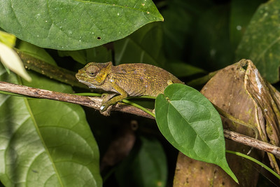 Lizards - Cameroon Africa