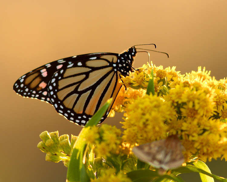 A monarch butterfly on Pike's Beach, WHB.