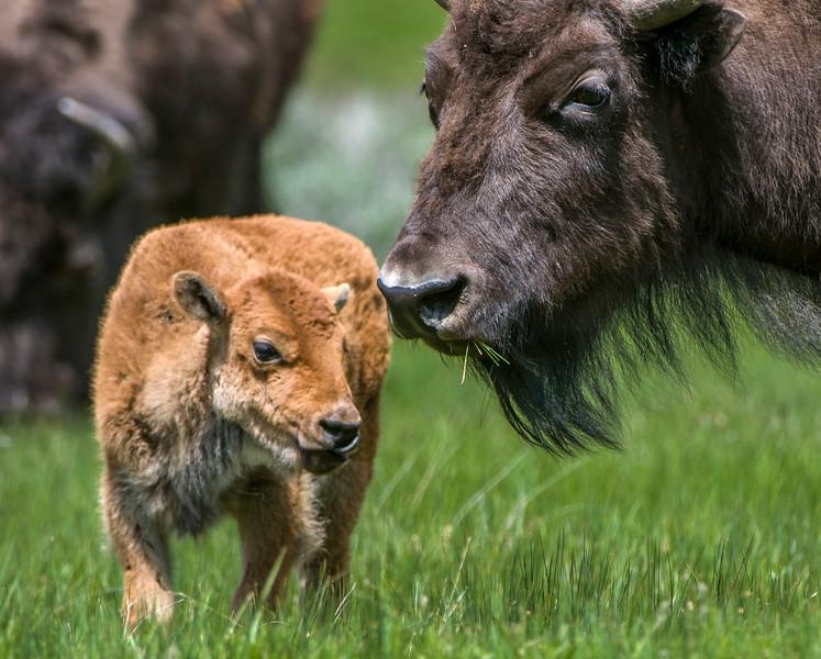 Yellowstone_Bison-26.jpg