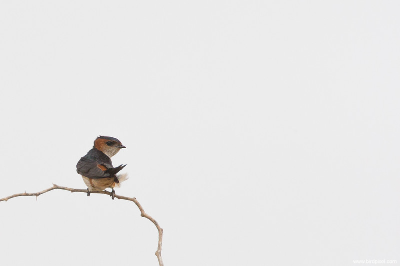Red-rumped Swallow - Kutch, Gujrat, India