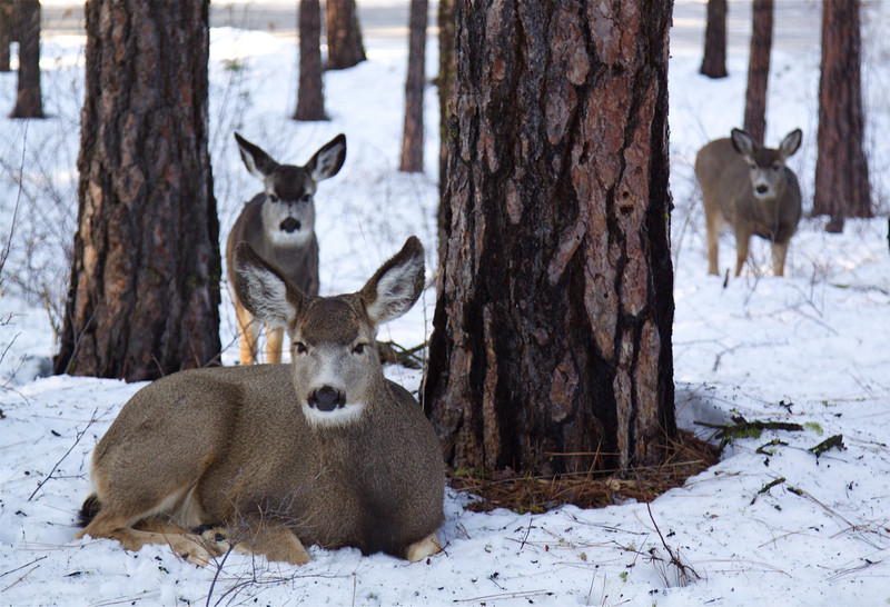 Mulies in Snow.jpg