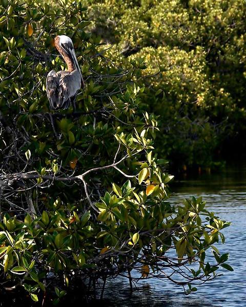 pelican49onabranch.jpg