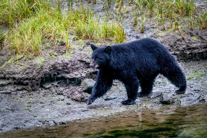 DSC 5446 black bear cub.jpg