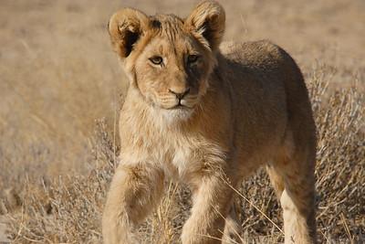Kgalagadi TP (Kalahari Desert)