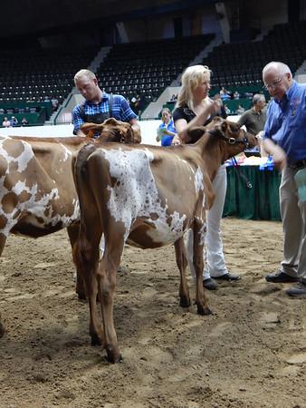 Minnesota State Fair Ayrshire Heifers 2015