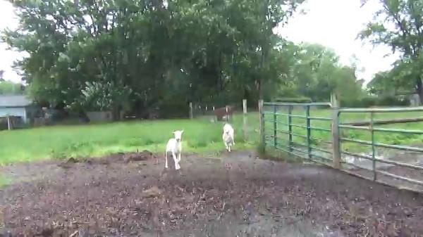 Sheep video taken 6/12/2015