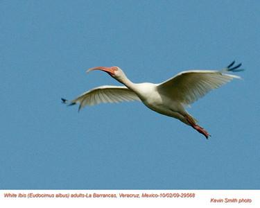 WhiteIbisA29568 copy.jpg