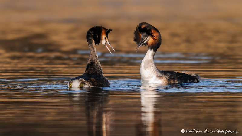 Toppet lappedykker (Podiceps cristatus - Great Crested Grebe)