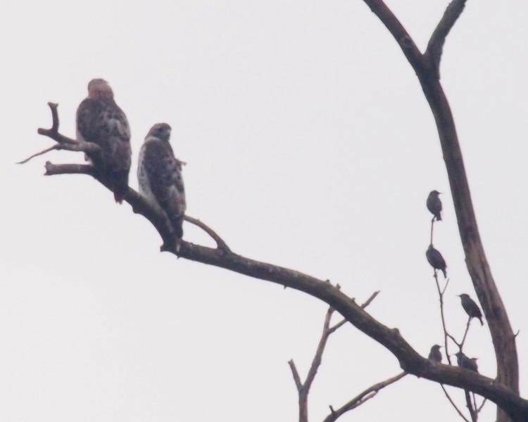 Hawks Starlings.jpg