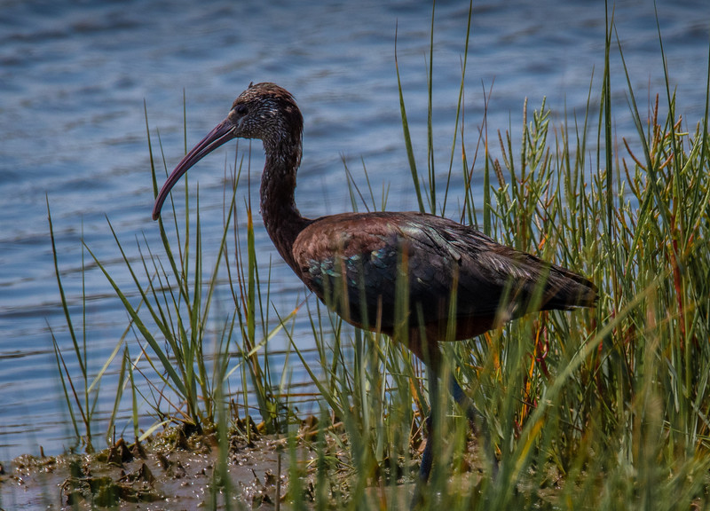 Glossy Ibis at the water