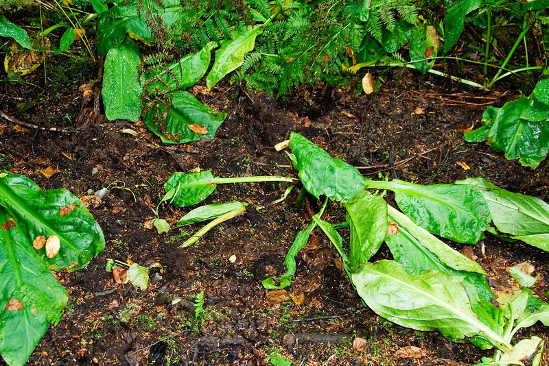 Skunk Cabbage dug by Bears.jpg