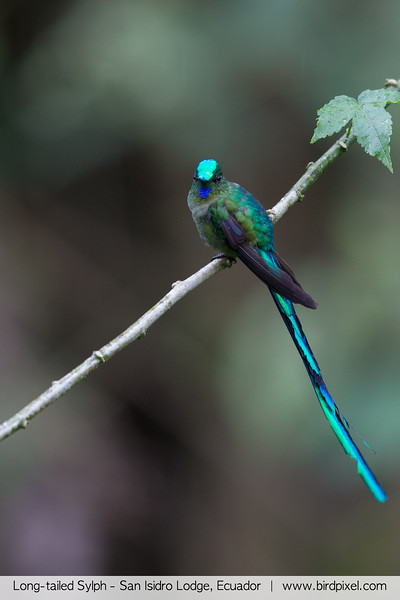 Long-tailed Sylph - San Isidro Lodge, Ecuador