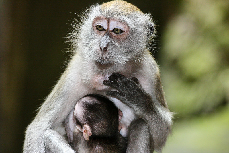 Macaque Monkey.jpg