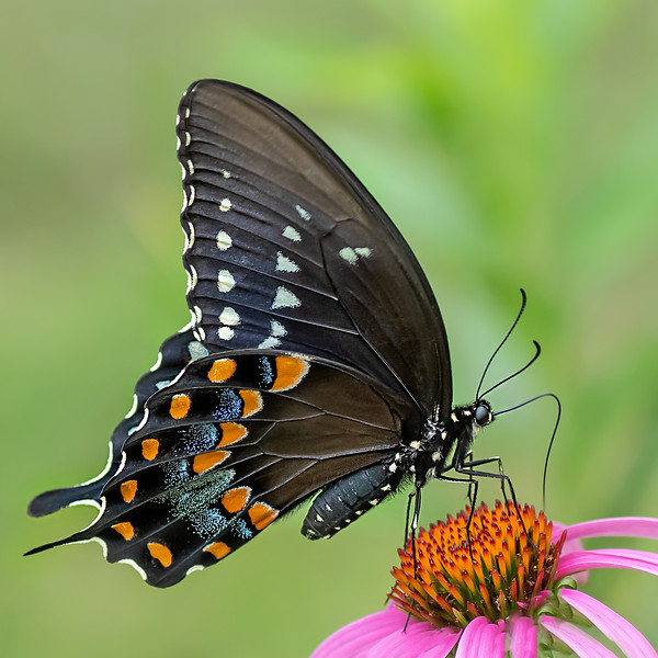 Black Swallowtail Butterfly on Cone Flower