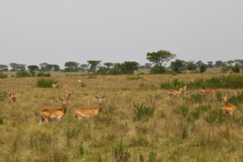 Ugandan Kobs / Uganda-Kobs