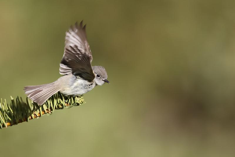 Dusky Flycatcher - Wuksachi Lodge, Sequoia National Park, CA, USA