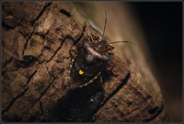 Roodpootschildwants/Red-legged Shieldbug