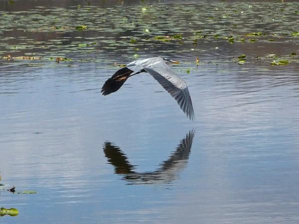 HeronFlying2_Blue.jpg