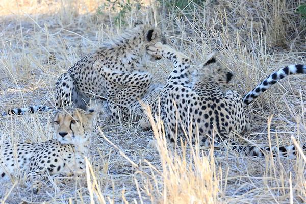 Cheetah Mashatu Botswana 2017