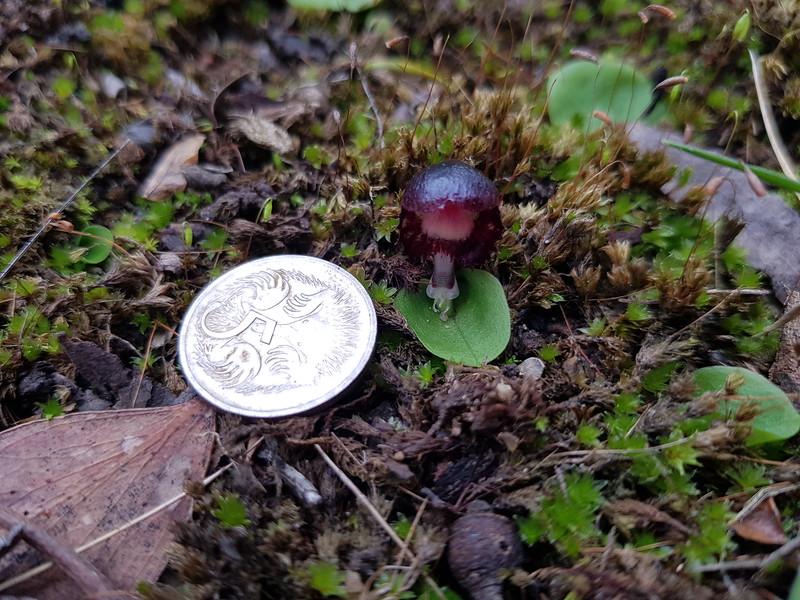 Corybas diemenicus - Veined Helmet Orchid - Angelsea