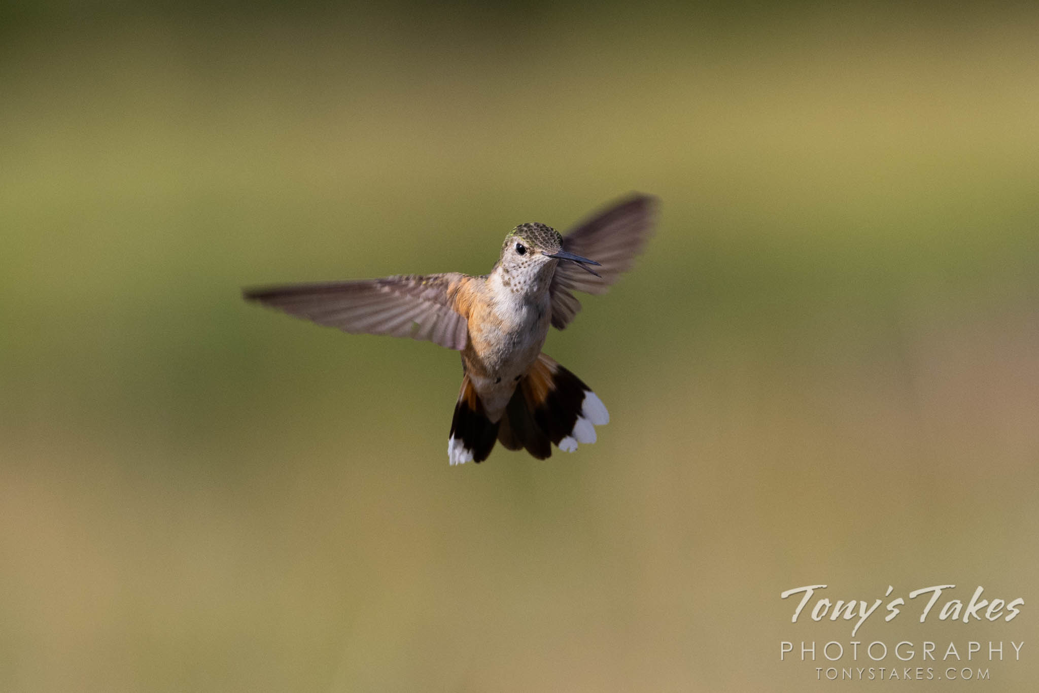 Hummingbird in flight. Canon R5, Canon EF 100-400mm f/4.5-5.6L IS II USM @ 350mm, 1/2000, f/8, ISO 640.