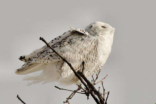 Snowy Owl Addison VT