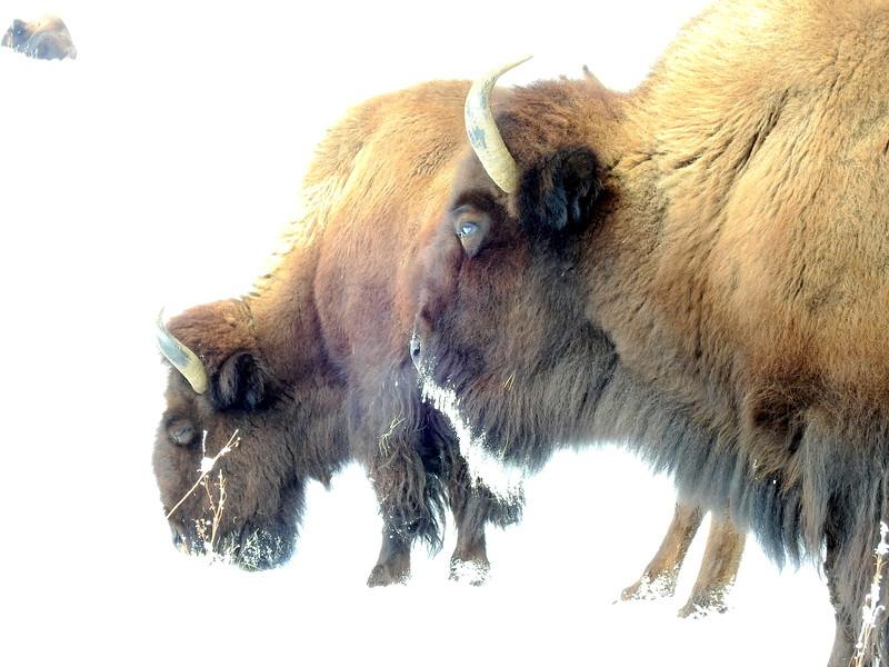 Buffalo (24).JPG
