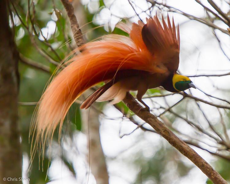 Raggiana Bird-of-Paradise male at Varirata National Park, Papua New Guinea (10-14-2013) 019-35.jpg