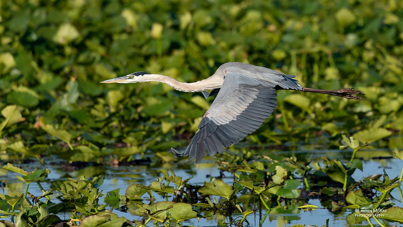 Great Blue Heron, Kissimmee Swamp, Kenansville, FL, US, May 2018-2.jpg