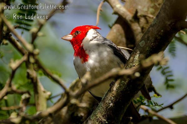 Red Crested Cardinal (Paroaria coronata)