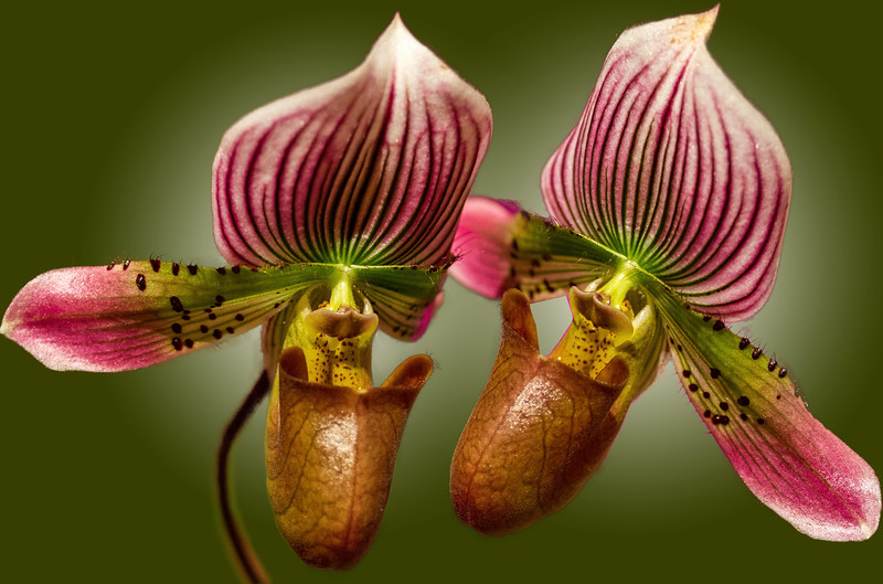 Pirate_Orchids-Green_BG.jpg