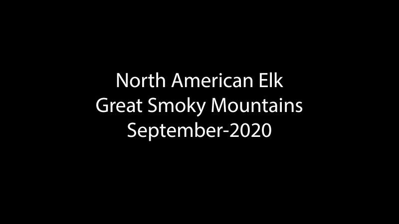 *Video*  Elk in the Smokies