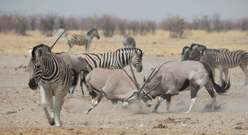 Gemsbok & Burchell's Zebra