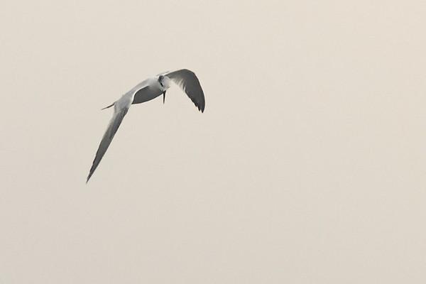 Andorinha-do-mar-comum (Sterna hirundo)