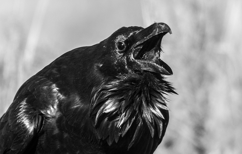 Common Raven Yellowstone National Park WY -1000054.jpg