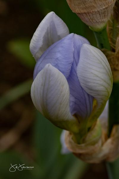 irises-149.jpg